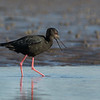 Black Stilt, female