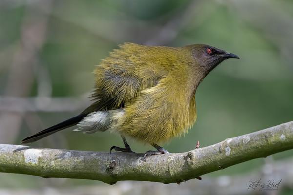 Bellbird, male