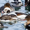 Long-tailed Duck-0536February 17, 2014