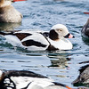 Long-tailed Duck-0525February 17, 2014