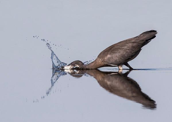 White-faced Heron makes it's strike....