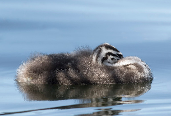 Crested Grebe chick