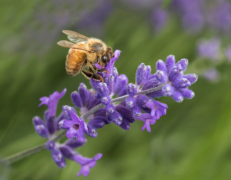 Bee collecting honey from the lavender flowers