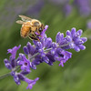 Bee collecting honey from the lavender flower