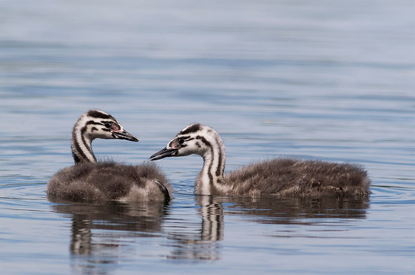 Crested Grebe Chicks