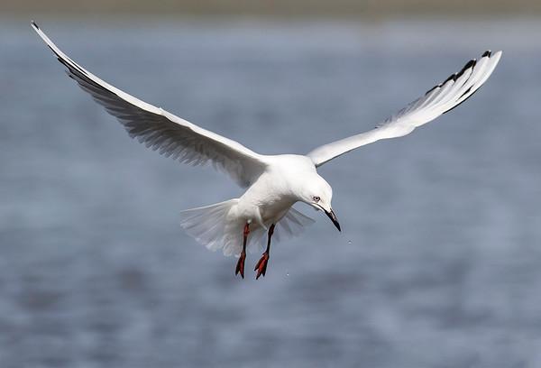 Black-billed Gulls  -  Tarapuka