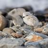 Wrybill chick  -  Lake Tekapo NZ
