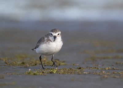 Wrybill  -  juvenile  Lake Ellesmere