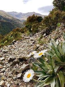 Large Mountain Daisy - Celmisia semicordata