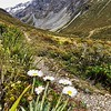 Alpine flora, Otira Valley track