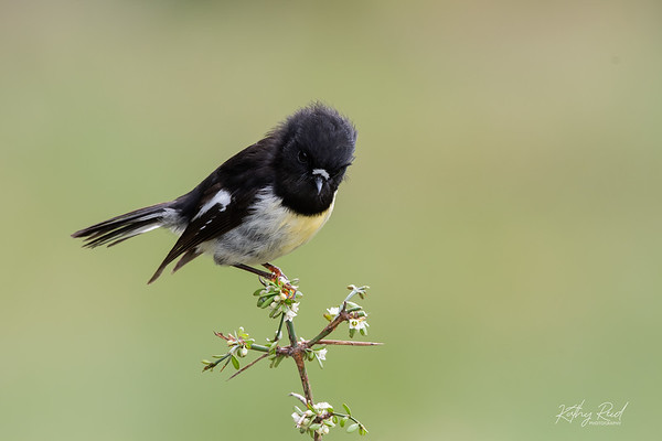South Island Tomtit (male)