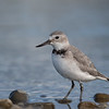 Wrybill, Ashley River