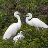 White Heron, Kotuku