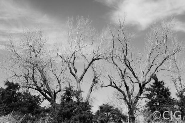 Three Trees Black & White