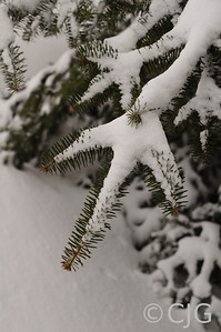 Pine Needles & Fresh Snow