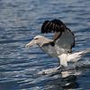Salvin's Albatross  -  Kaikoura