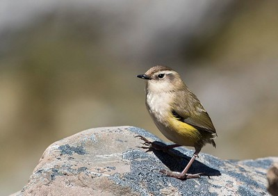Rock Wren  - Otira Valley Arthurs Pass