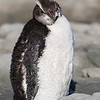 Erect-crested Penguin  -  Kaikoura NZ