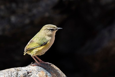 Rock Wren - Otira Valley, Arthurs Pass
