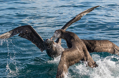 Northern Giant Petrel - Kaikoura NZ