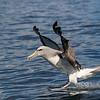 Salvin's Albatross - Kaikoura NZ