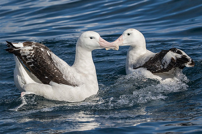 Wandering Albatross  -  Kaikoura