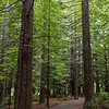 Redwood forest walk, Hanmer Springs