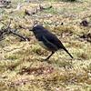 South Island Robin, Lewis Pass NZ