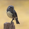 South Island Robin,  Lewis Pass
