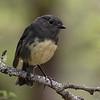 South Island Robin