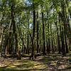 Beech Forest, Nth Branch Hurunui, Lake Sumner National Park