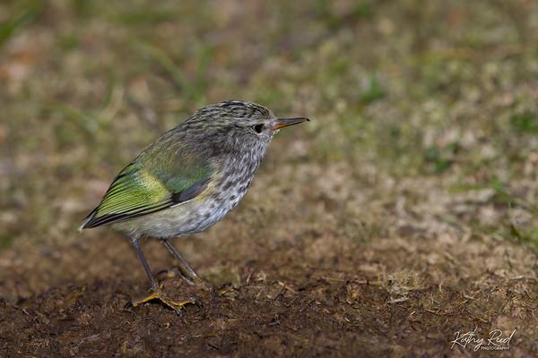 Rifleman  - juvenile male