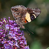 Yellow Admiral Butterfly  -  Vanessa itea