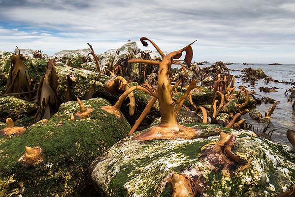 Exposed Kelp beds - Kaikoura NZ