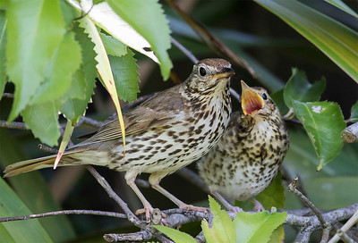 Song Thrush and young fledgling