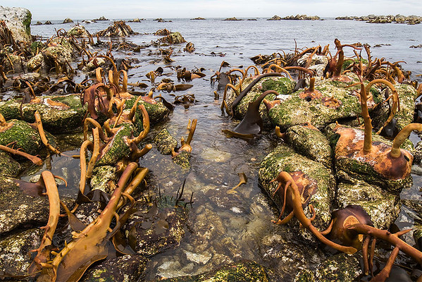 Exposed Kelp beds  - Kaikoura