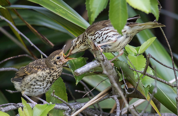 Song Thrush and fledgling