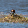 Male Grebe renovating the nest after the first egg had been laid.