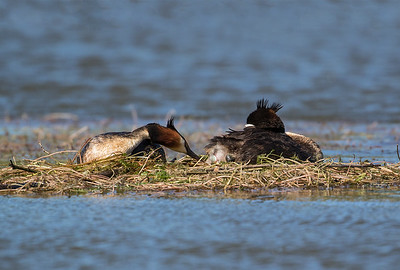 Female Grebe starting to lay an egg