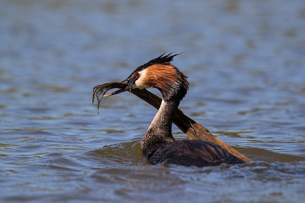 Grebe gathering nesting material.