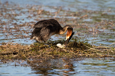 Male Grebe turning the 3 eggs!