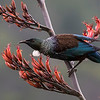 Tui feeding on harakeke  flower nectar