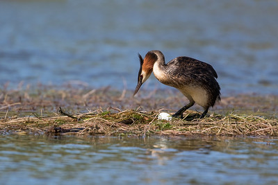 Male Grebe sorting out the nest just after the first egg had been laid.