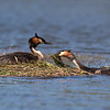 Male Grebe adding material to the nest.