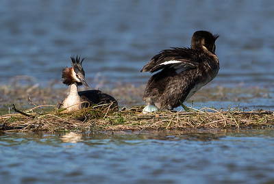 Crested Grebe just finished laying it's first egg  #4