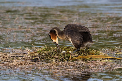 Male Grebe turning the eggs