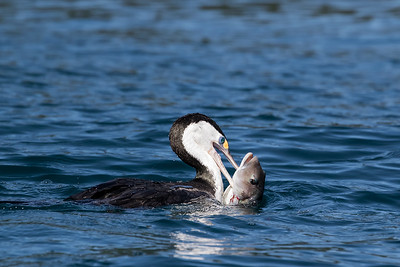 Pied Shag with a Blue Cod