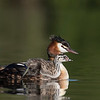 Crested Grebe and chick