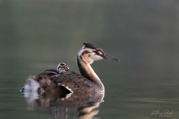 Crested Grebe juvenile with a sibling chick.