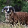 Wild Arapawa Ram